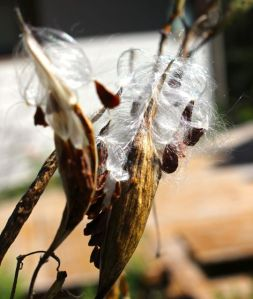 Swamp Milkweed pods releasing their seeds.