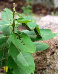 Monarch caterpillars dining on Common Milkweed.