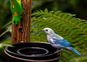 Blue-grey Tanager and Blue-crowned-hanging Parrot enjoying their breakfast.
