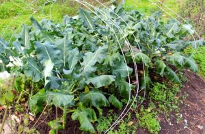 Fall broccoli thrives safely within our deer fence-enclosed vegetable garden.