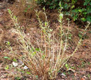 A devoured variegated hydrangea