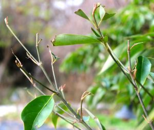 Nibbled evergreen Kousa dogwood branches