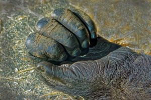Female gorilla hand