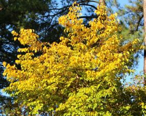 Spectacular fall color of Halesia diptera contributes to its year-round seasonal landscape value.