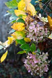 Unidentified hydrangea