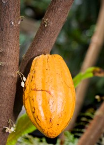 Cacao pod growing in the aviary