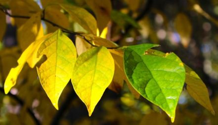 Spicebush leaves