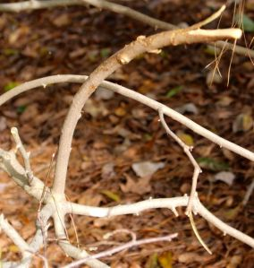 Just a few branches of the mother Royal Star magnolia were mangled.