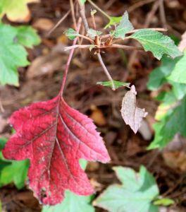 A mangled oakleaf hydrangea branch