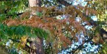 Dawn Redwood branches