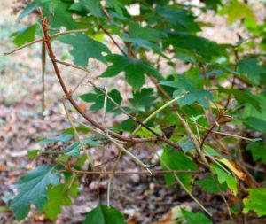 Oakleaf hydrangea damage