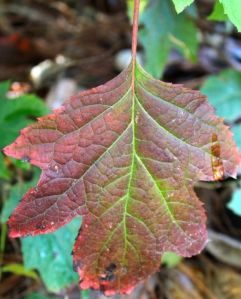 My Oakleaf Hydrangea leaves are just beginning to acquire the deep garnet hues I treasure.
