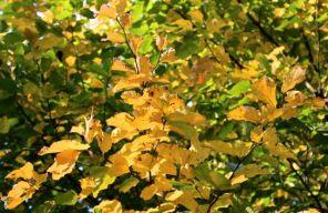 Parrotia persica branches