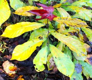 A crimson Sweet Gum leaf rests on a yellowing Pawpaw branch.