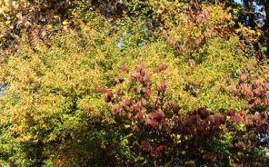 Flowering apricot and Viburnum 'Shasta'