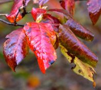 Plum-leaf azalea leaves