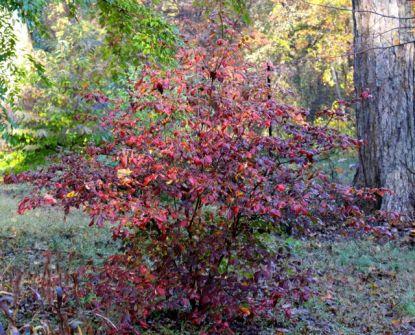 Plum-leaf azalea