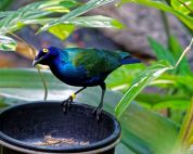 Purple Glossy Starling