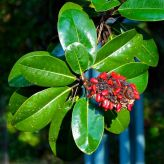Southern Magnolia seed cone and leaves