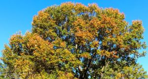 Southern Red Oak (Quercus falcata)