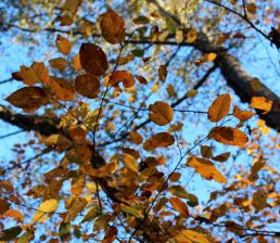 Sunlit leaves of River Birch