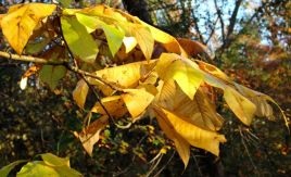 Umbrella Magnolia leaves