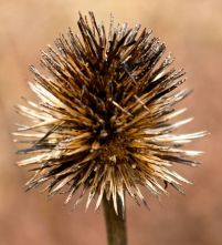Coneflower remnant