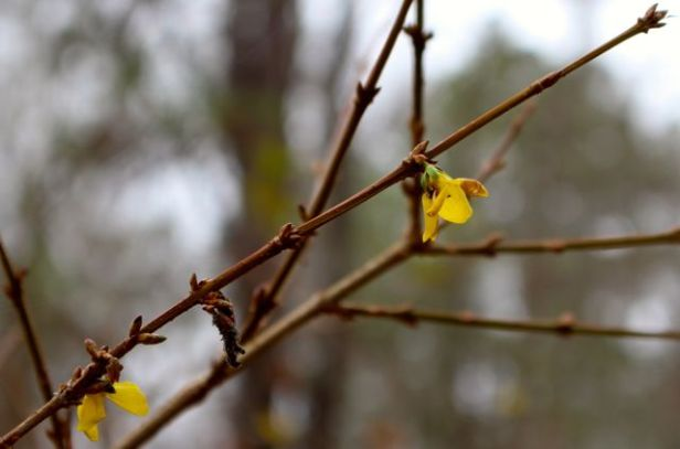 The hedgerow of forsythia near my road is popping yellow flowers all over. This normally doesn't bloom until late February or early March.