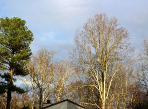 At least these trees towering over my home look as if they belong in a winter landscape.