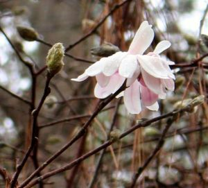 Magnolia stellata 'Royal Star' -- blooming today!