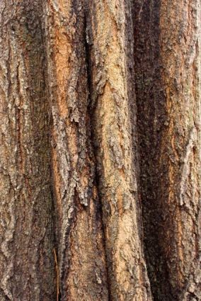 Deeply furrowed bark of a Water Oak