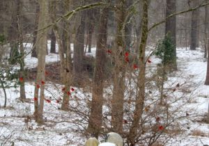 Northern Cardinals huddled in the winter hazel near the feeders as sleet falls.