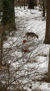 Northern Cardinals remained at the feeders long after the deer left. And the sleet continued to fall.