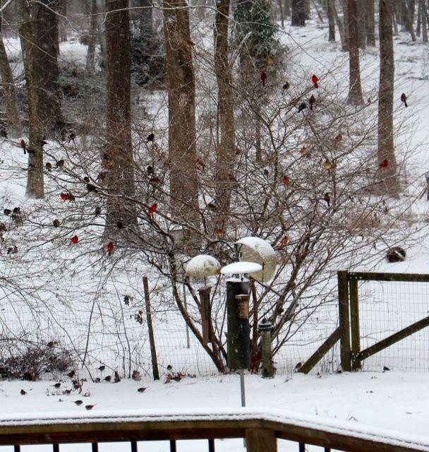 Winter Visits My Piedmont Landscape Piedmont Gardener