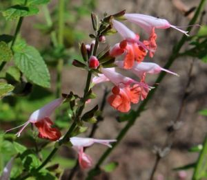 A close-up of flowers of Salvia 'Coral Nymph'
