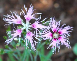 Dianthus 'Lace Perfume'