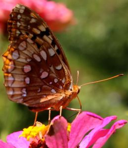 Great Spangled Fritillary enjoying a Blue Point zinnia