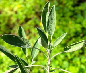 Sage 'Italian Aromatic' leaves in November