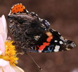 Red Admiral on dahlia6