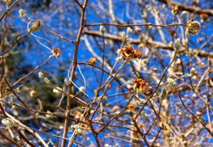 Fortunately, not all the flower buds were precocious bloomers. And, yes, the sky really was this blue today.