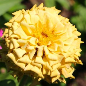 Zinnia 'BluePoint Florist' mix