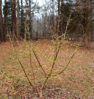 Cornus mas brightens a dull winter landscape.
