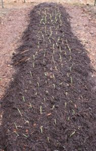 Onion plants freshly planted in their bed on Feb. 22, 2016.