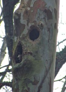 pileated holes