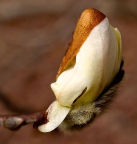 An undamaged bud about to open