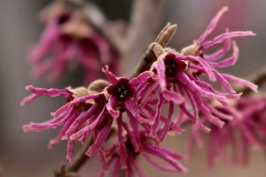 Flowers of witch hazel 'Amethyst' currently blooming in my yard
