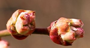 Swelling blueberry flower buds