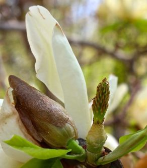 Bloom states of Magnolia 'Elizabeth'