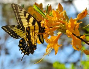 Eastern Tiger Swallowtail on a native deciduous azalea hybrid