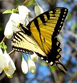 Eastern Tiger Swallowtail on Halesia diptera